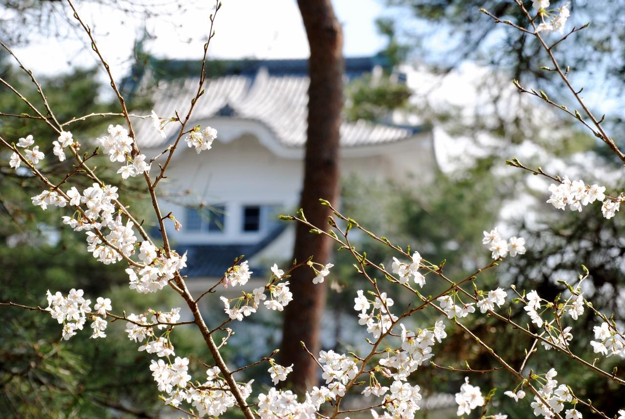 2020 桜 上野 公園